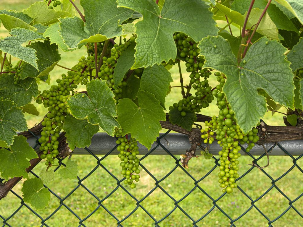 Read more on Residential Chain Link Fencing: Create Your Trellis Garden Oasis