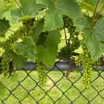 Residential Chain Link Fencing: Create Your Trellis Garden Oasis