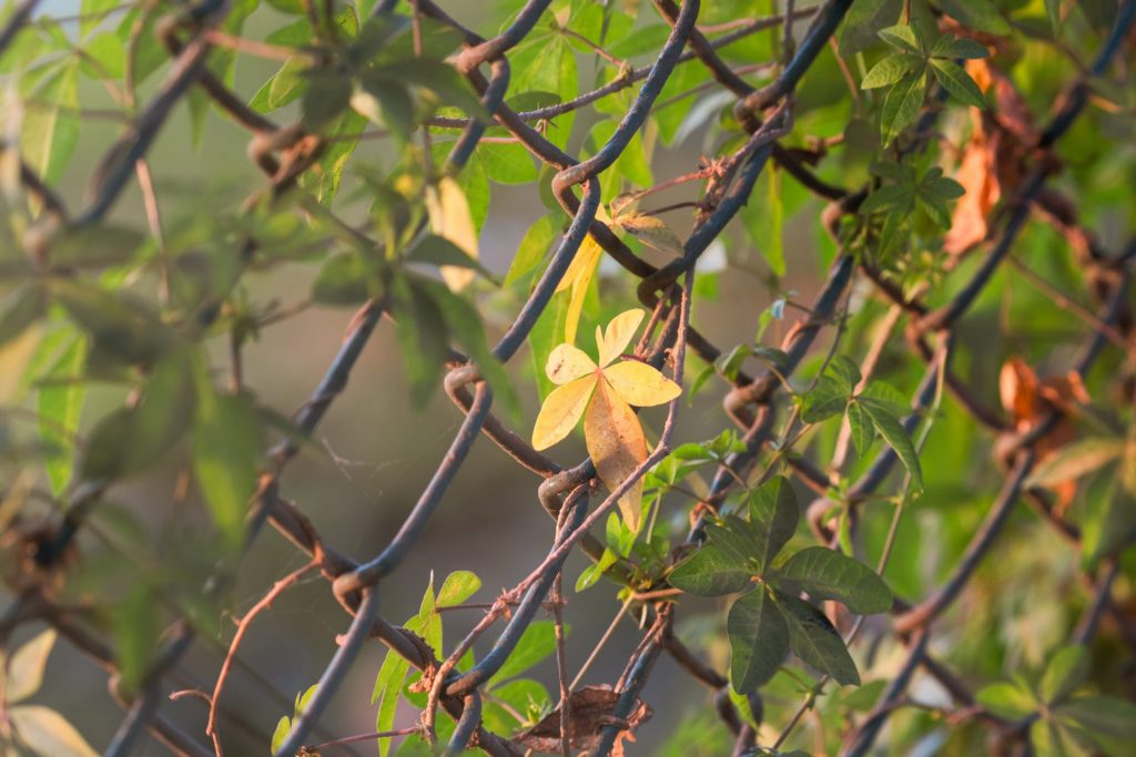 chain link fence for garden with vines